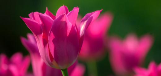 Tulpe öffne Dich