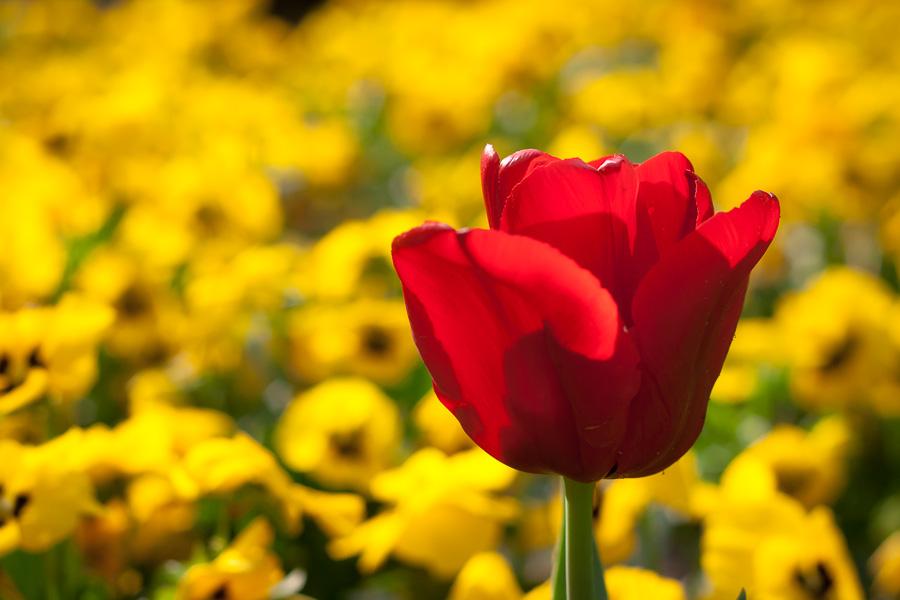 Tulpe vs. Stiefmütterchen