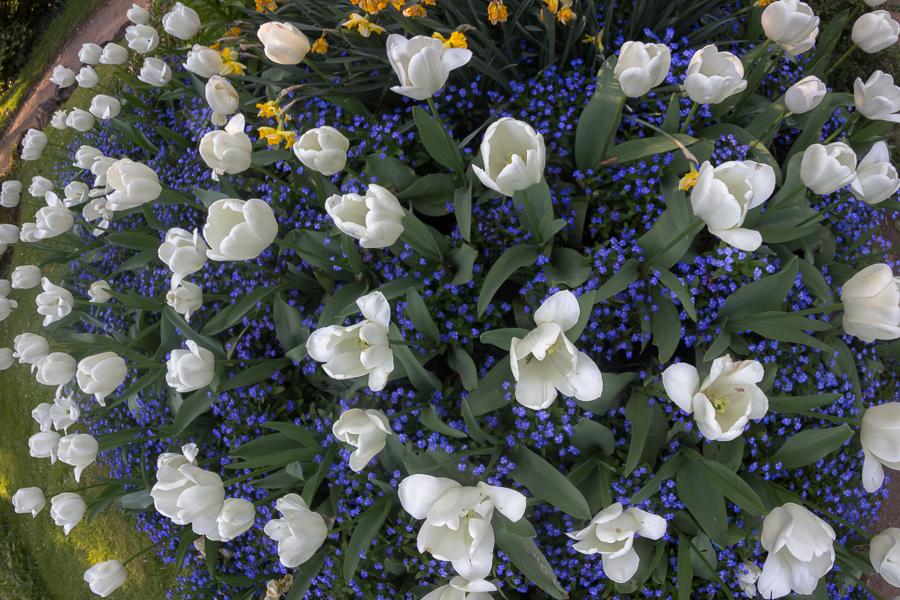 Erhabene Tulpen