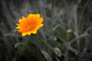 Blumen fotografieren: Der letzte Mohikaner