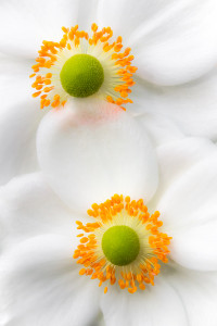 Blumen fotografieren: Anemonenpärchen