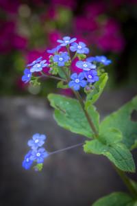 Blumen fotografieren: Vergissmeinnicht