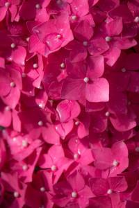 Blumen fotografieren: Hortensienmeer